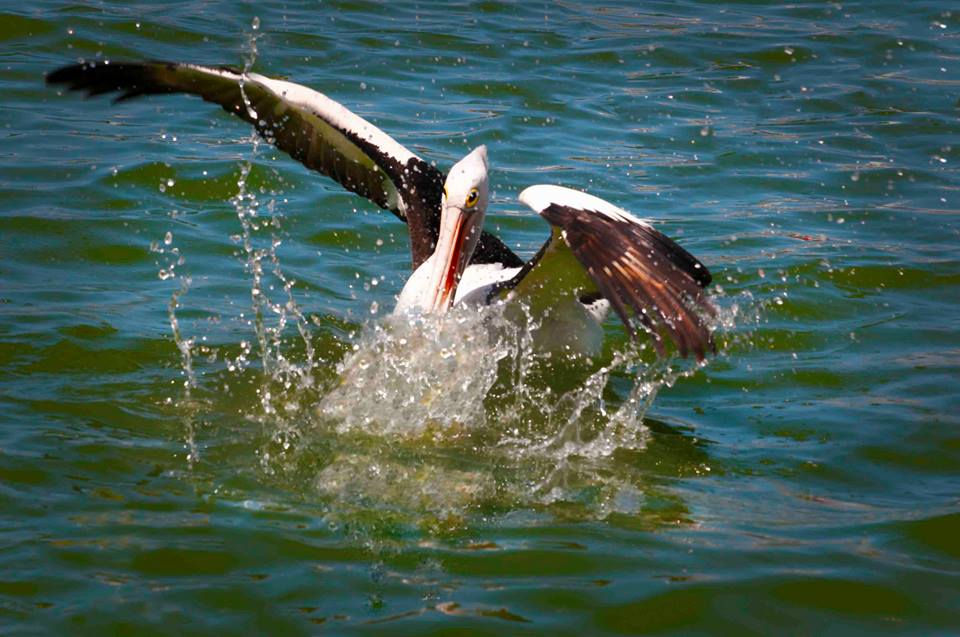 Pelican, Splash Landing Metung